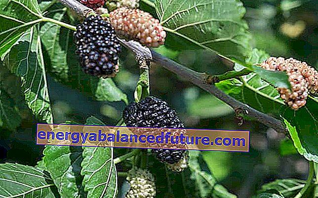 šilkmedžio medis nuo hipertenzijos)